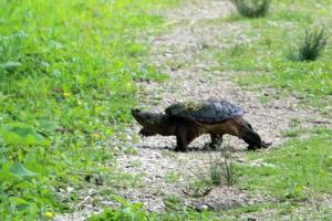 Snapping Turtle IMG_3037_1