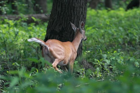 WT Deer IMG_2605_1