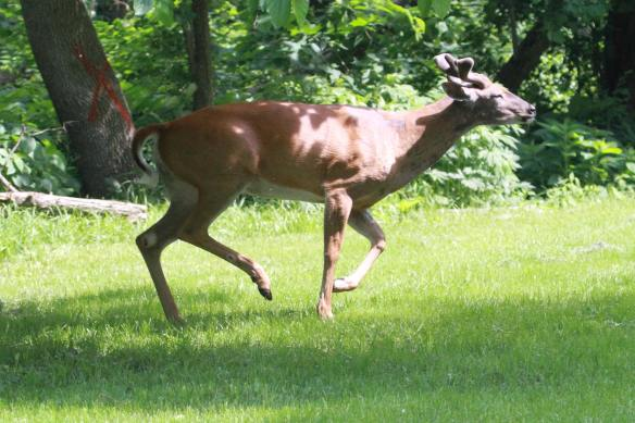 WT Deer Young Buck IMG_2618_1