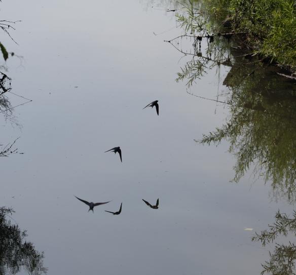 Barn Swallows by the bridge