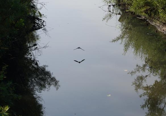 Barn Swallows 7-21-13 Middlefork 1I2A0629