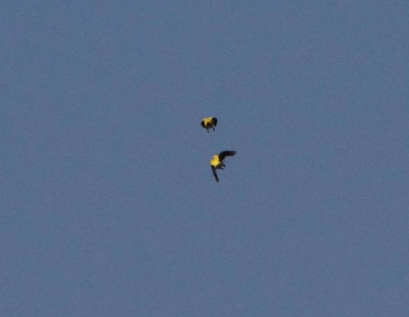 Battling Goldfinches IMG_4637_1
