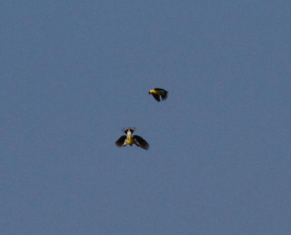 Battling Goldfinches IMG_4639_1
