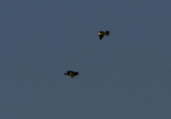 Battling Goldfinches IMG_4641_1