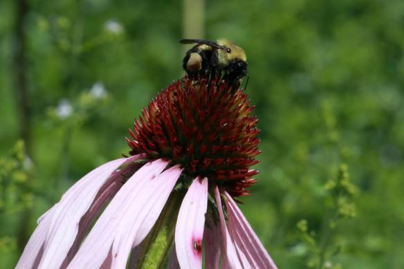 Bee in Cone Flower IMG_5115_1