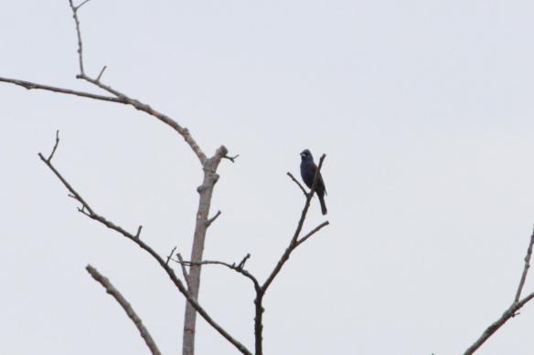 Blue Grosbeak IMG_4960_1