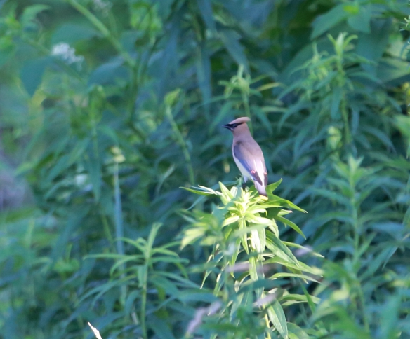 Cedar Waxwing, McGinnis Slough