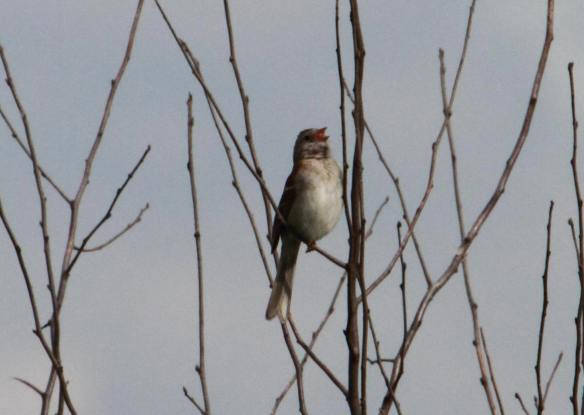 Field Sparrow Tri-County IMG_4186_1