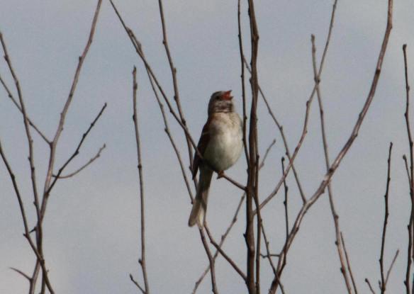 Field Sparrow Tri-County IMG_4186_1