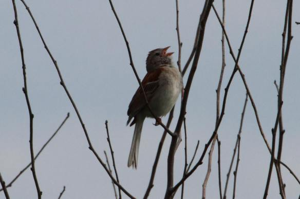 Field Sparrow Tri-County IMG_4200_1
