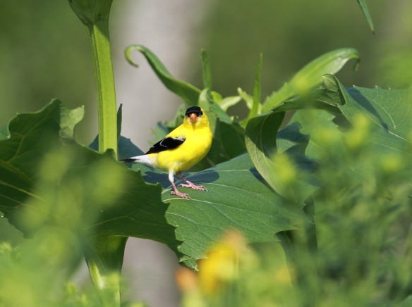 Goldfinch, Middlefork Savanna