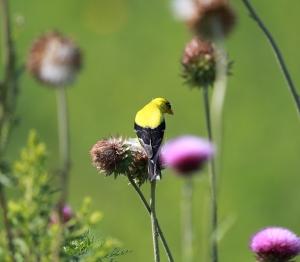 Goldfinch 1I2A0707