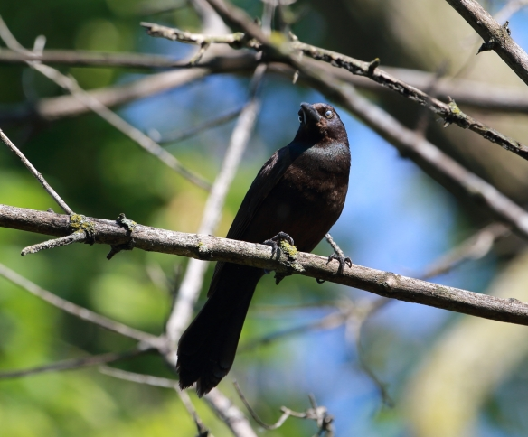Common Grackle, Chicago Portage