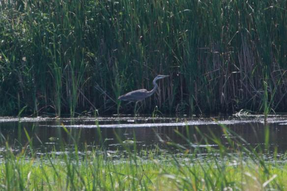 Great Blue Heron, a bit too distant