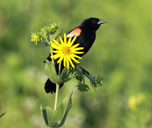 Red-Winged Blackbird, Middlefork Savanna