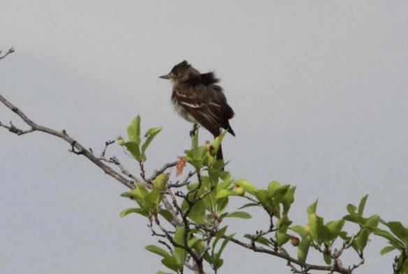 Willow-Alder Flycatcher