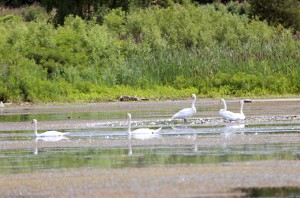 5 Mute Swans at Banner Marsh