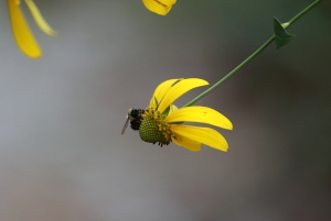 Bee on what flower 1I2A1717
