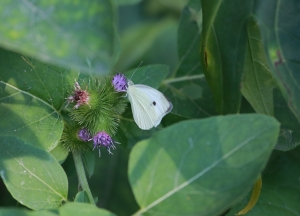 Cabbage White on the Burdock 1I2A1794