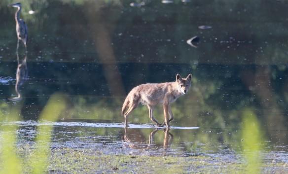 Coyote, Dusaf Pond, Fermilab