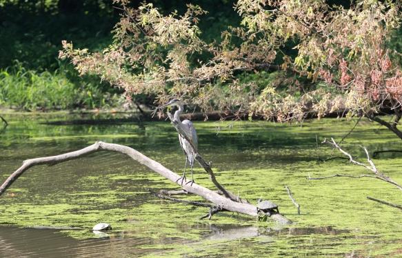 Great Blue Heron, Fullersburg Woods