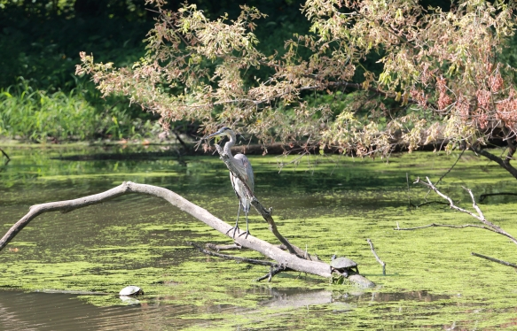 Great Blue Heron, Fullersburg Woods