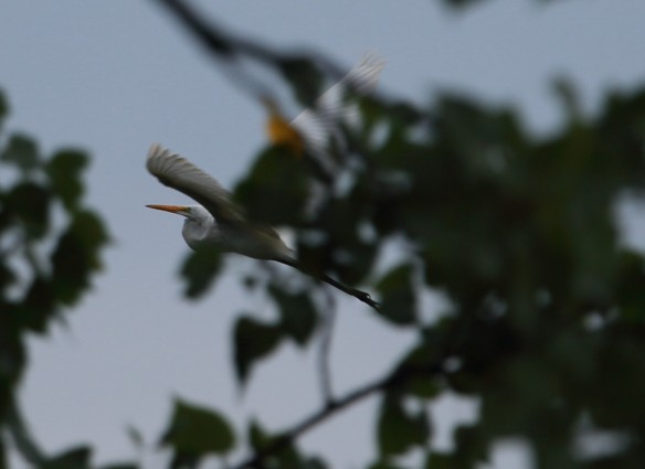 Great Egret 2 8-2-13 1I2A0830