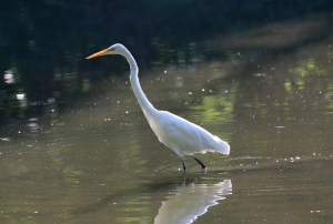 Great Egret Fullersburg 1I2A0903