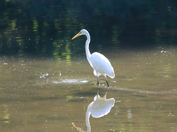 Great Egret Fullersburg 1I2A0913