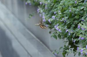 Hummer Moth IMG_0293_1