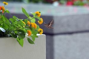 Hummer Moth IMG_0367_1