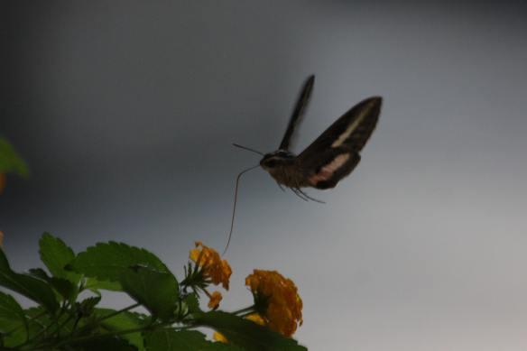 Hummer Moth IMG_0375_1