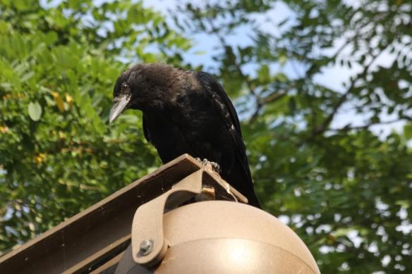 Juvenile Crow IMG_0187_1