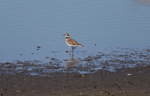 Killdeer 1I2A1481
