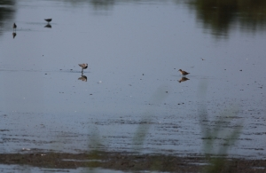 Lesser Yellowlegs and Least Sandpiper