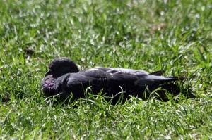 Pigeon sunning in Millennium Park