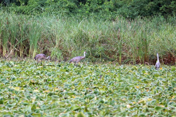 Sandhill Cranes with a Great Blue Heron