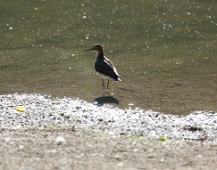 Spotted Sandpiper 1I2A0925