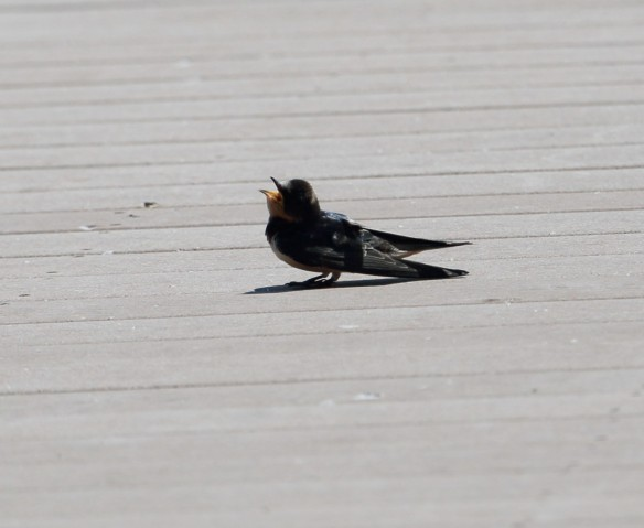 Barn Swallow sunning itself
