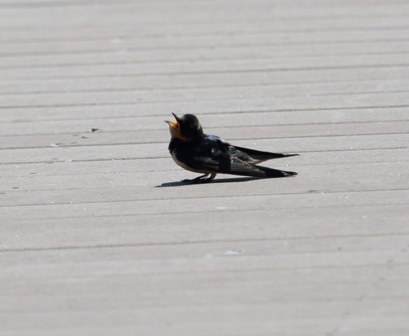 Barn Swallow sunning itself