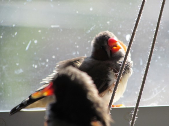 Zebra Finches in the sunny kitchen window
