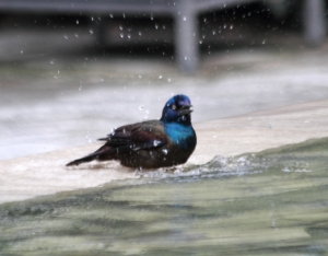 Grackle Bath IMG_6646