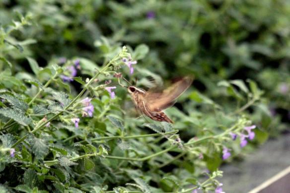 Hummer Moth IMG_0335_1