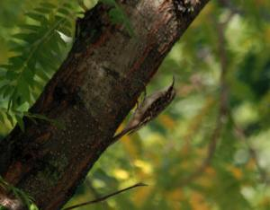 Brown Creeper IMG_7743_1