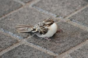 Brown Creeper IMG_9499_1