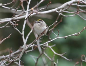 Golden-Crowned Kinglet on a throne of thorns