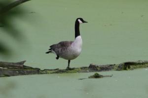 Goose IMG_8166_1