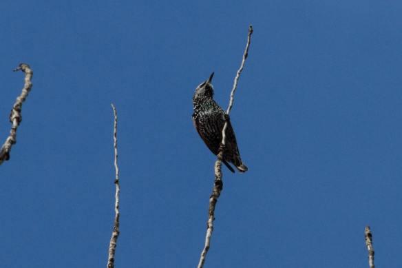 Juvenile Starling IMG_8270_1