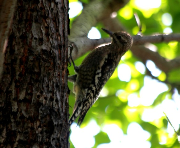 Juvenile Yellow-Bellied Sapsucker