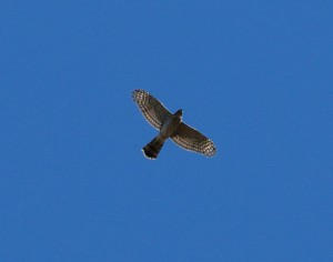 Northern Harrier, IBSP